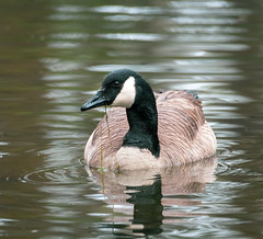 Friendship Pond Canada Goose eating 1 NBG (Puddin Tain) Tags: norfolkbotanicalgarden norfolkvirginia brantacanadensis canadagoose gooseeating bird animal pond