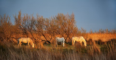 Camargue horses at the end of the day (JLM62380) Tags: cheval light white blanc camargue france nature chevaux horse saintesmariesdelamer