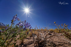 Lupine in backlight (marko.erman) Tags: chile desert lupines flowers volcanos mountains blooming blossom uwa sony panorama landscape horizon beautiful nature wilderness outdoor travel latinamerica sanpedrodeatacama ultrawideangle closeup backlight sun sunny highaltitude