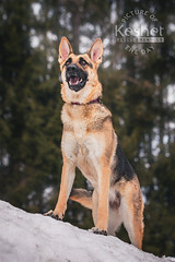 Picture of the Day (Keshet Kennels & Rescue) Tags: adoption dog ottawa ontario canada keshet large breed dogs animal animals pet pets field nature photography german shepherd gsd pose smile forest trees snow happy