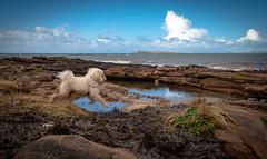 Free Doggo (Silent Skies) Tags: dog maltipoo puppy beach sea scotland