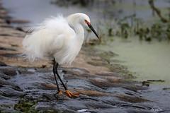 Snowy Egret (Greg Lavaty Photography) Tags: snowyegret egrettathula texas march brazosbend statepark ftbendcounty birdphotography outdoors bird nature wildlife