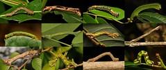 Geometrid or Geometer Moth Caterpillars, Loopers or Inchworms (Geometridae) (John Horstman (itchydogimages, SINOBUG)) Tags: insect macro china yunnan itchydogimages sinobug entomology collage mosaic moth lepidoptera caterpillar larva