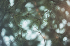 Pines (Austinbad) Tags: spear pines bokeh circle warm warmtone spring detail film grain outdoor canon contrast warmth tone tones trees light picture lights focus photo atmospheric fade motion