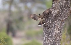 African Grey Hornbill -8676 (Theo Locher) Tags: africangreyhornbill birds grysneushoringvoël oiseaux tockusnasutus vogels vögel zuidafrika southafrica krugernationalpark kruger copyrighttheolocher