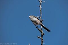 Long tailed tit (Dave Bickley) Tags: attenborough birds attenboroughnaturereserve nottinghamshirewildlifetrust longtailedtit nottingham fujixt3 fuji