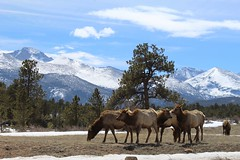 Elk (designsbykari) Tags: rockymountainnationalpark estespark deer elk magpie snow winter spring nature animals