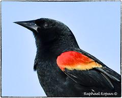 Redwing blackbird (RKop) Tags: florida apollobeach raphaelkopanphotography d500 600mmf4evr nikon