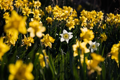 Edinburgh Daffodils in Spring March 2019-18 (Philip Gillespie) Tags: edinburgh scotland spring 2019 march flowers daffodil blooms stems petals colour color yellow blue green black white blackandwhite mono monochrome canon 5dsr park outdoor nature day light sky sun clouds sunny water forth firth lothian hills buildings architecture urban cityscape parkland public men woman boys girls splash fountain people family walking feet legs orange