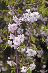 IMG_5619 (Roger Kiefer) Tags: dallas arboretum flowers outdoors beauty nature