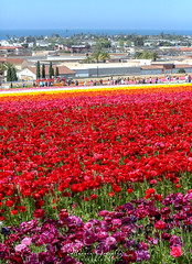 The Flower Fields 3.30.19 14 (Marcie Gonzalez) Tags: the flower fields carlsbad southern california ca flowers attraction attractions destination destinations plant plants petal petals bloom blooming blooms many botanical botanicals light day morning lighting sun sunny daylight natural nature theflowerfieldscarlsbad san diego field rainbow rows color colors bright ranunculus county north america usa socal so cal marcie gonzalez marciegonzalez marciegonzalezphotography photography canon theflowerfields flowerfields blanket cover covered horizon thousands spread 2019