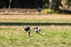 20181006_Vincennes_Pie bavarde (thadeus72) Tags: aves birds corvidae corvidés eurasianmagpie oiseaux passériformes picapica piebavarde