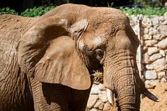 African elephant II (Cataphract) Tags: elephant loxodontaafricana safari zoology