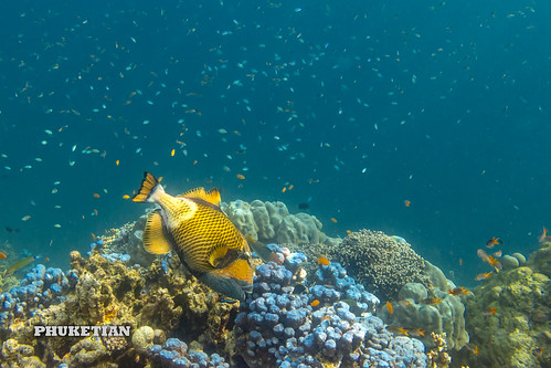 Titan Triggerfish on the coral reef of the Surin islands, Thailand, Indian Ocean