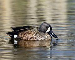 DSC_6173.jpg Blue-winged Teal (laurie.mccarty) Tags: bird duck bluewingedteal nature wildlife water waterfowl