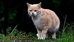 DSC_0026 Chat errant (sylvette.T) Tags: animal domestique chat cat 2019 pluie
