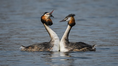 Great crested grebe (JS_71) Tags: nature wildlife nikon photography outdoor 500mm bird new spring see natur pose moment outside animal flickr colour poland sunshine beak feather nikkor d500 wildbirds planet global national wing eye watcher