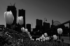 Urban tulip (usotuki) Tags: 横浜 みなとみらい21 yokohama pentaxkp smcpentaxfa31mmf18allimited 象の鼻パーク zounohanapark tulip flower monochrome 白黒 blackandwhite