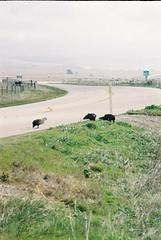 CNV00021 (rugby#9) Tags: california usa sky cloud birds condors buzzards us america grass fence land road