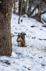 Smiling squirrel (PetuPictures) Tags: squirrel finland winter eat food snow animals animal animalphotography photography nature naturephotography pentax sigma
