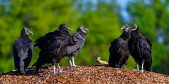 The Summit (craig goettsch - out shooting) Tags: sanibel2018 harnsmarsh vulture blackvulture bird avian nature wildlife animals florida nikon d500