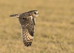 SEOW_Flying (Thomas Muir) Tags: asioflammeus woodcounty bowlinggreen ohio midwest nikon 600mm animal outdoor bird birdwatching hunting flying shorteared owl birding
