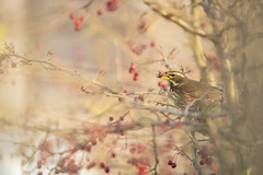 Redwing (Benjamin Joseph Andrew) Tags: bird passerine songbird winter thrush migrant migratory visitor autumnmigrant perching hungry food fruit berry