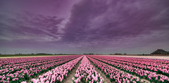 Chameleonic Skies. (Alex-de-Haas) Tags: 11mm adobe blackstone d850 dutch hdr holland irix irix11mm irixblackstone lightroom nederland nederlands netherlands nikon nikond850 noordholland photomatix photomatixpro beautiful beauty bloem bloemen bloementeelt bloemenvelden cloud clouds cloudscape drama dramatic floriculture flower flowerfields flowers hyacint hyacinten hyacinth hyacinths hyacinthus hyacinthusorientalis landscape landschaft landschap lente lucht mooi nature natuur polder skies sky skyscape spectaculair spectacular spring sun sundown sunset wolk wolken zonsondergang