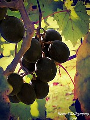 Vineyard Delights (MaryMRevis: Empress Of Explore) Tags: outdoors explore interesting marymrevis discover stilllifephotography stilllife photography photo foods food vineyards vineyard grape grapes scenery scenes scene views view life