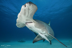 Patches the Great Hammerhead shark (Shane Keena) Tags: nature animal underwaterphotography uwphotography shark hammerheadshark ouroceans protectouroceans protectsharks naturalworld amazingnature sharks conservation