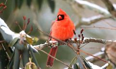 Northern Cardinal (wvsawwhet) Tags: bird birding birds birdwatching birdsofwestvirginia redbird cardinal northerncardinal marioncounty fairmont westvirginia wv westvirginiabirds nature wildlife