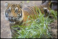 Rakan (KRIV Photos) Tags: rakan sandiego sandiegozoosafaripark sumatrantiger tiger animal