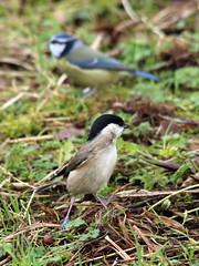 Bokeh Marsh Tit (Wildlife Terry) Tags: rspbleightonmoss silverdale lancashire february 2019 winter201819 arnside aonb naturereserve reedbeds marsh pools hides causeway tits pairoftits