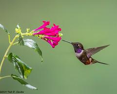 WOODSTAR, Purple-throated (teddcenter) Tags: bird calliphloxmitchellii ecuador pinchinchaprovince hummingbird trochilidae purplethroatedwoodstar tandayapalodge