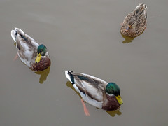 (Dunnock_D) Tags: britain cheshire chester dee england gb uk unitedkingdom bird birds drakes ducks female male males mallard mallards river swimming three two