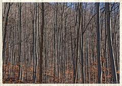 Community of trees (Dieter Meyer) Tags: bäume wald winter sonne beuren schwäbischealb badenwürttemberg germany trees forest community