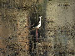 Black-necked Stilt visiting Ballona palustrine wetland (stonebird) Tags: blackneckedstilt himantopusmexicanus ballonawetlandsecologicalreserve areab palustrinewetland february img9669