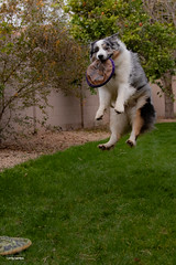 9/52 Jump for Joy (Jasper's Human) Tags: 52weeksfordogs au aussie dog frisbee fly jump