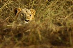 Lion (Jonas Van de Voorde) Tags: pendjari benin westafrica safari wildlife jonasvandevoorde lion pantheraleo