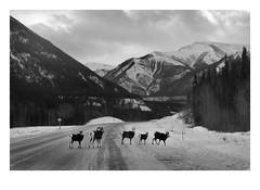 Stone Sheep (Robert Drozda) Tags: muncholakeprovincialpark britishcolumbia canada alaskahighway stonesheep mountains road snow winter wildlife fbxtopdx2018 drozda