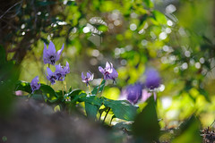 20190321-DS7_1246.jpg (d3_plus) Tags: bokeh aiafzoomnikkor80200mmf28sed d700 thesedays wildflower 日常 walking 城山 ボケ 相模原 望遠 カタクリ 自然 景色 dogtoothviolet sagamihara trekking 神奈川県 sky telephoto 山野草 風景 japan erythroniumjaponicum ニコン トレッキング nature dailyphoto ハイキング nikon nikond700 kanagawa flower nikkor shiroyama 8020028 dogtoothvioletvillage bloom 植物 80200mmf28d 散歩 80200mmf28af plant 花 scenery 80200mmf28 daily 城山かたくりの里 hiking 80200 日本 tele 80200mm かたくりの里 空