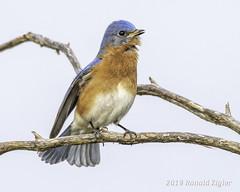 Eastern Bluebird singing IMG_4078 (ronzigler) Tags: thrush songbird nature birdwatcher avian wildlife bluebird eastern bird watcher