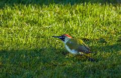 Pic vert (JeanJoachim) Tags: picvert picusviridis piciformes picidae oiseau bird vogel aves uccello fågel fugl pássaro バード lintu птица ptak grünspecht pentaxk5iis smcpentaxda300mmf4edifsdm europeangreenwoodpecker