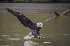 2019.04.06.1435 Landing Gear Down (Brunswick Forge) Tags: 2019 virginia jamesriver richmond water woods trees forest animal animals outdoor outdoors bird birds raptor raptors wildlife nature cloudy rain spring eagle river nikond750 fx sigma70300mm favorited commented baldeagle grouped beautyofwater eagles