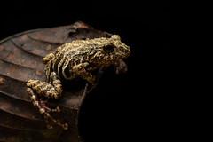 Stretching Out (worm600) Tags: ecuador animal sumaco wildsumaco frog treefrog