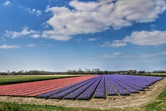 Hyacinth fields (wimkappers) Tags: hyacinth flowers holland dutch dutchlandscape travel scenery lines