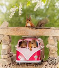 red squirrels sitting in a camping bus with a squirrel above (Geert Weggen) Tags: mammal rodent squirrel nature animal red flower closeup cute funny happy summer look tender love redsquirrel backgrounds colorimage environment nopeople photography volkswagen bus retrostyled hippie minivan oldfashioned vanvehicle camping car collectorscar driving landvehicle outdoors stationwagon transportation ride road tunnel bridge rock stone geert weggen geertweggen sweden jämtland ragunda bispgården hardeko