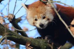 Red Panda (charliejb) Tags: redpanda red panda 2019 wildlife bristolzoogardens bristolzoo bristol mammal fur furry furred tree