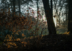 Winter sun (V Photography and Art) Tags: sinshine morning lowlight winterlight trees backlit fern woods