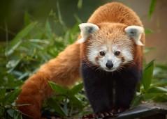 panda roux (rondoudou87) Tags: redpanda pandaroux panda pentax k1 rondoudou87 parc park parcdureynou zoo reynou nature natur portrait cute mignon kawai kawaii bokeh regard look eyes yeux sigma